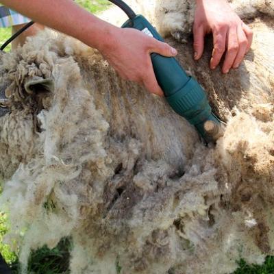 tondeuse à moutons